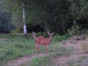 Deer at the campsite at Hoquiam