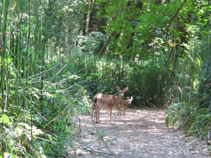 We snuck up on a deer & her fawn while hiking on our day off in the Humboldt Redwods