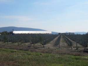 Agave plantations on the side of the highway