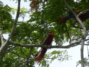 The beautiful and huge macaws of Costa Rica