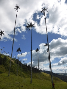 Colombia's national tree - the wax plan, growing up to 60m high!