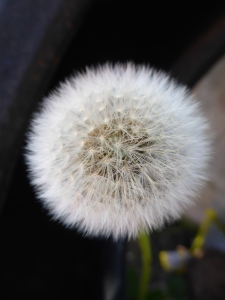 Have you ever seen such a perfect dandelion?