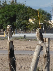 Owls in the daytime. I never thought to could happen. Delighted they posed for us. What a treat!