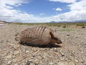 Sad story but this guy is actually dead. So rare to see an Armadillo, but this lil guy just wasn't fast enough for the cars. Amazingly intact though eh!