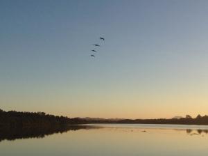 Pelicans at Macksville